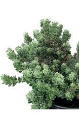Dorycnium hirsutum 1 Gallon