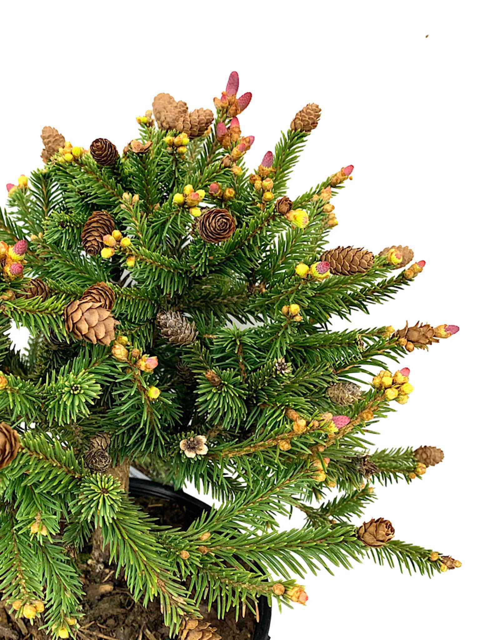 Picea abies 'Pusch' 1 Gallon