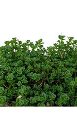 Thymus c. 'Lemon Frost' - 4 Inch