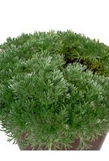 Cotula hispida- 4 inch