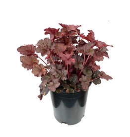 Heuchera 'Midnight Rose' 1 Gallon