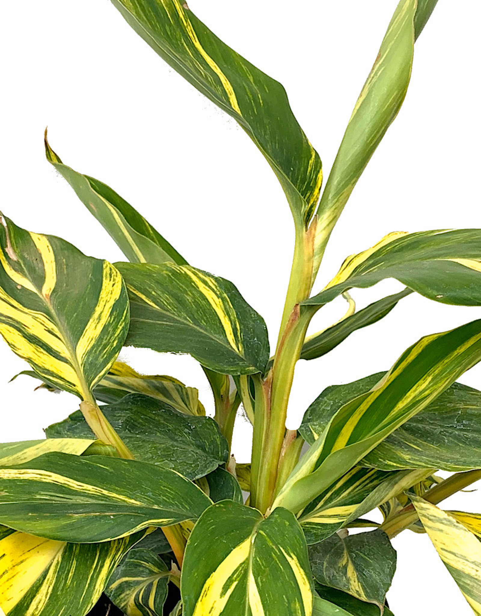 Alpinia zerumbet 'Variegata' - 1 Gal