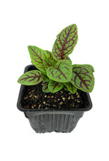Sorrel 'Blood Veined' - 4 inch