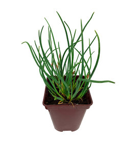 Chives 'Rising Star'  4 inch