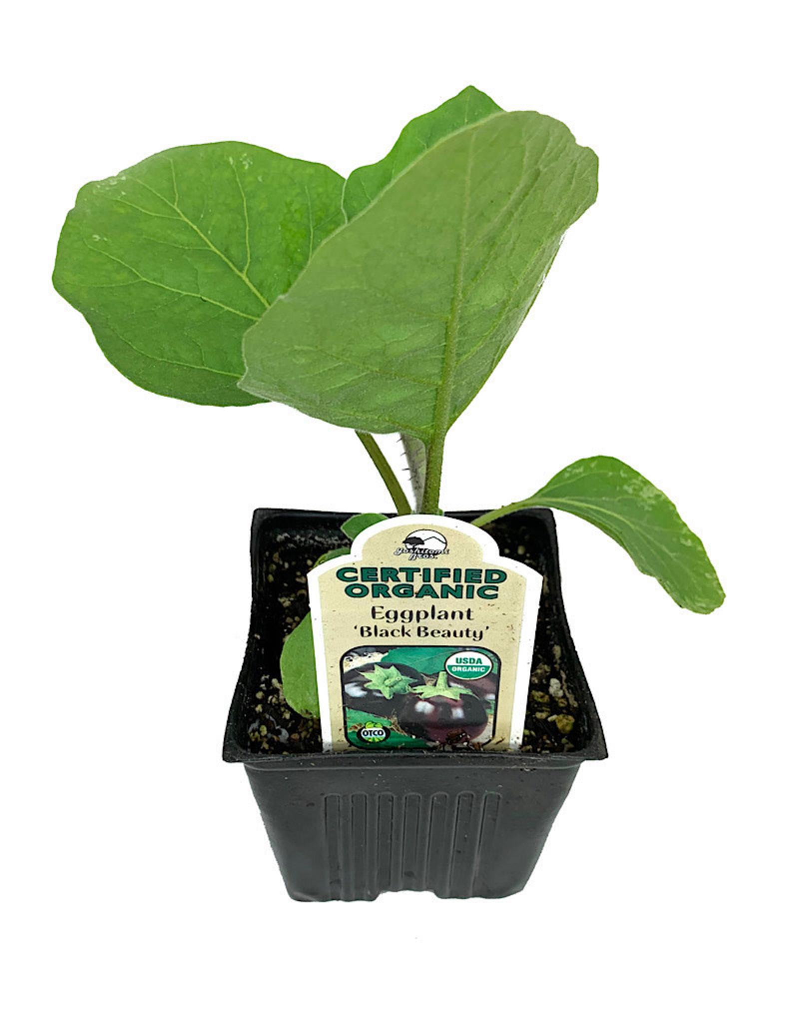 Eggplant 'Black Beauty' - 4 inch