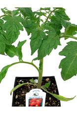 Tomato 'Health Kick' 4 Inch