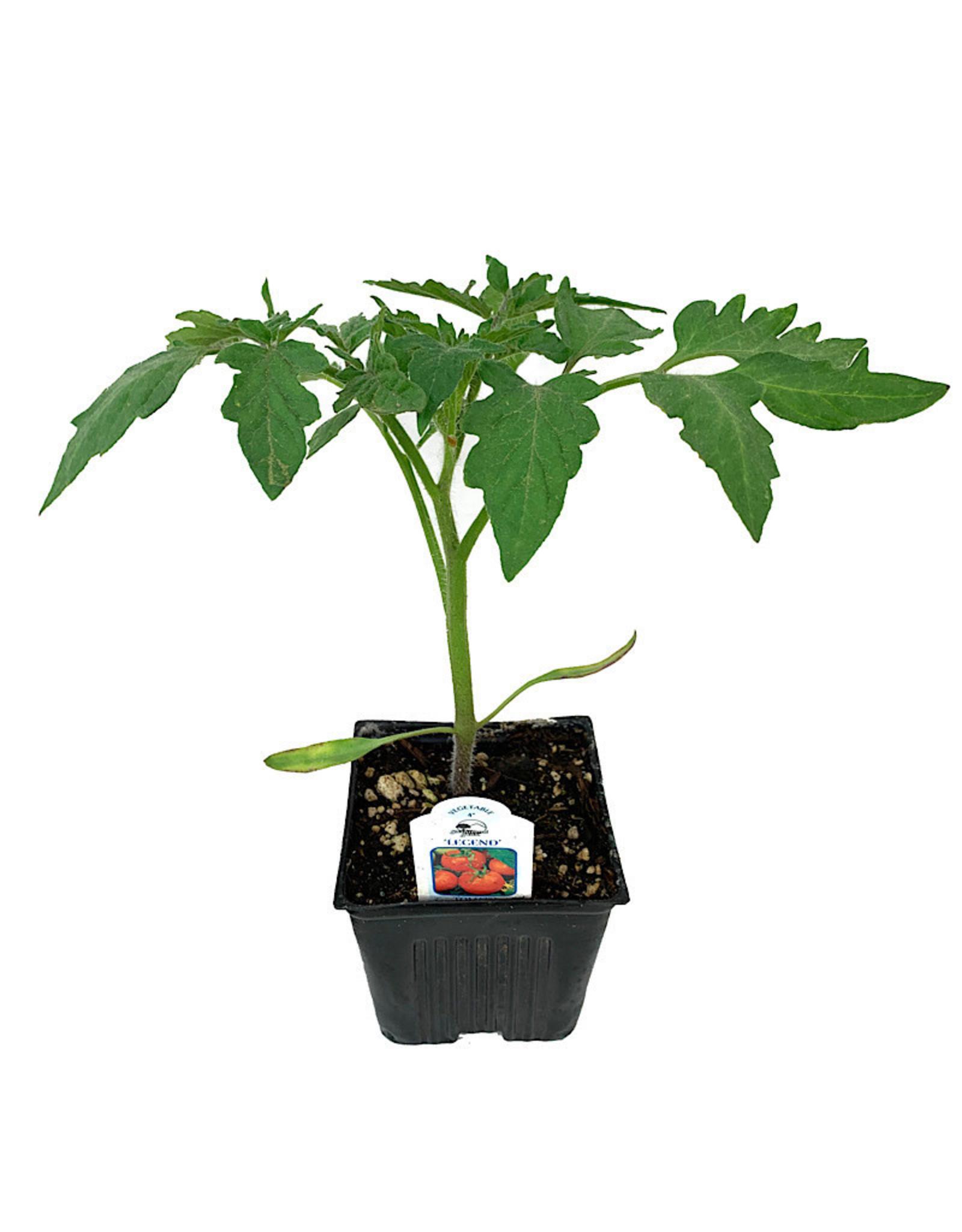 Tomato 'Legend' 4 Inch