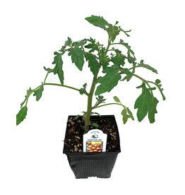 Tomato 'Sunsugar' 4 Inch