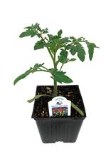 Tomato 'Sweet Million' 4 Inch
