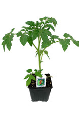Tomato 'Red Cherry Large' 4 Inch
