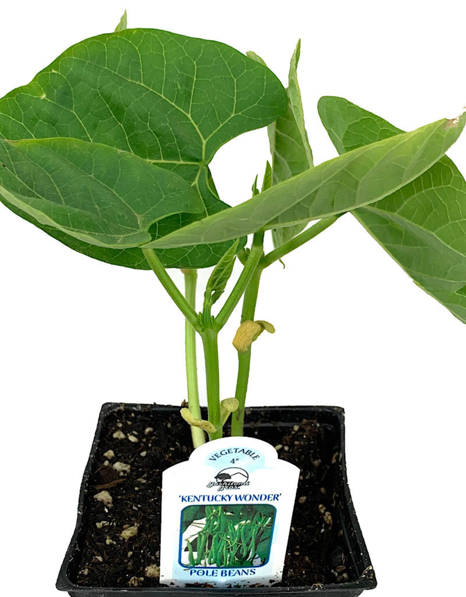 Pole Bean 'Kentucky Wonder' - 4 inch