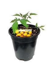 Tomato 'Sunsugar' 1 Gallon