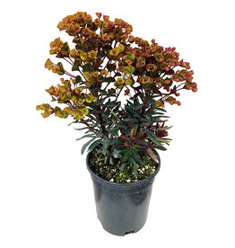 Euphorbia 'Blackbird' 1 Gallon