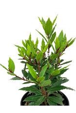 Laurus nobilis 'MonRik' - 1 gal