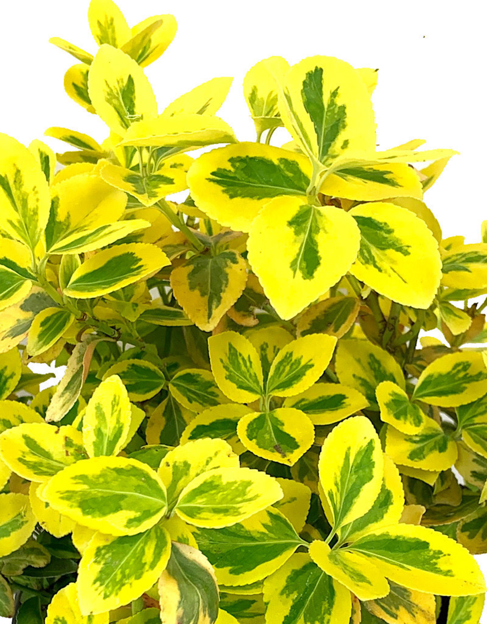 Euonymus f. 'Emerald n Gold' - 1 Gallon