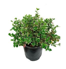 Euonymus f. 'Emerald Gaiety'- 1 gal