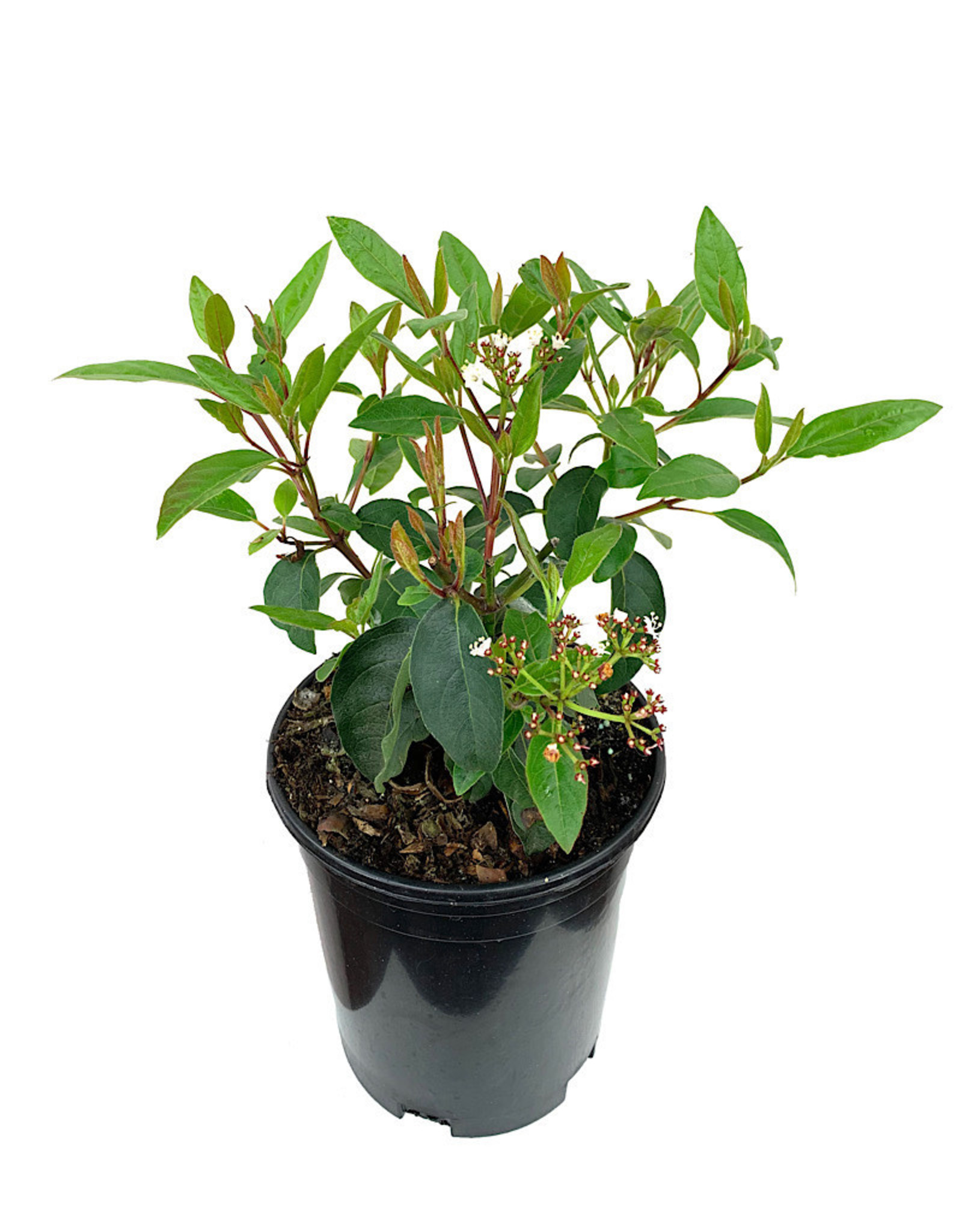 Viburnum tinus 'Spring Bouquet' 1 Gallon