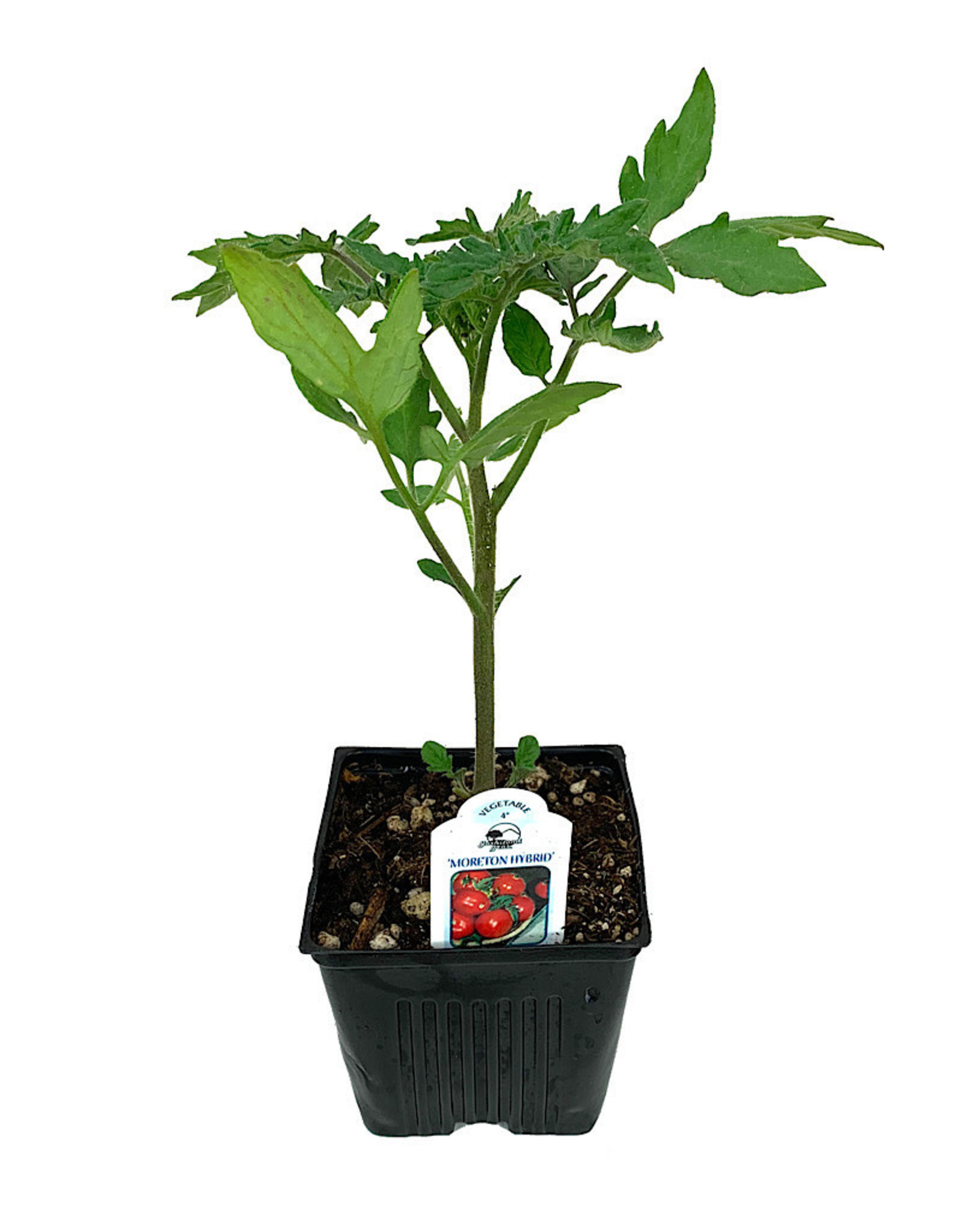 Tomato 'Moreton Hybrid' - 4 inch