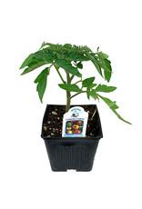 Tomato 'Cherokee Purple' - 4 inch
