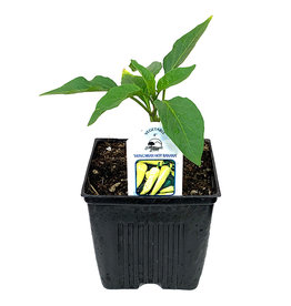 Pepper 'Hungarian Hot Banana' 4 Inch