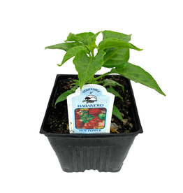 Pepper 'Habanero' 4 Inch