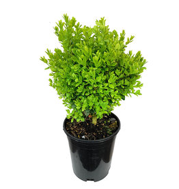 Buxus s. 'Suffruticosa' 1 Gallon