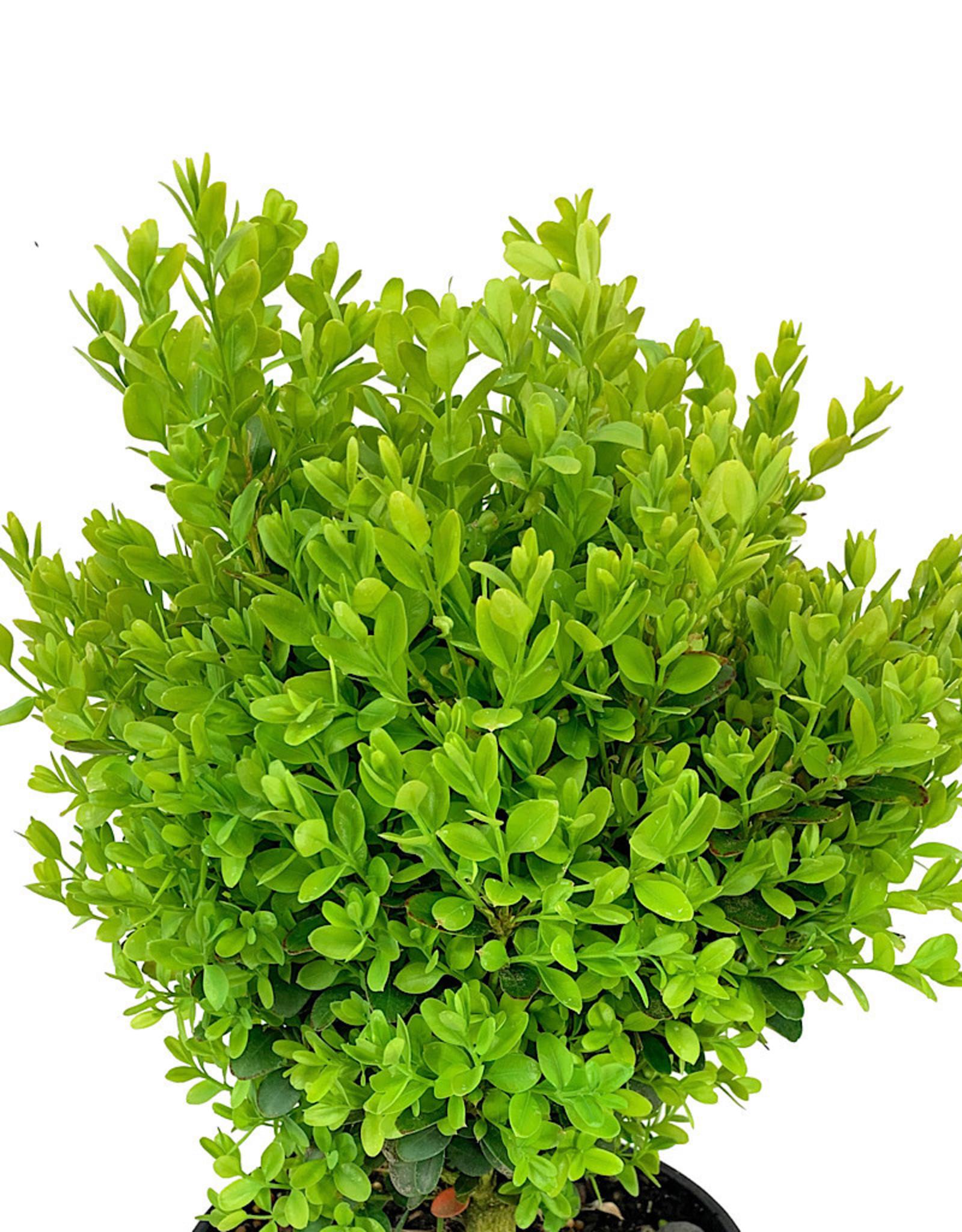 Buxus s. 'Suffruticosa' 1 Gallon