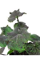 Lunaria 'Rosemary Verey' - Quart