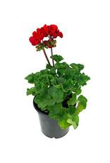 Geranium Zonal 'Presto Dark Red' - 5 Inch