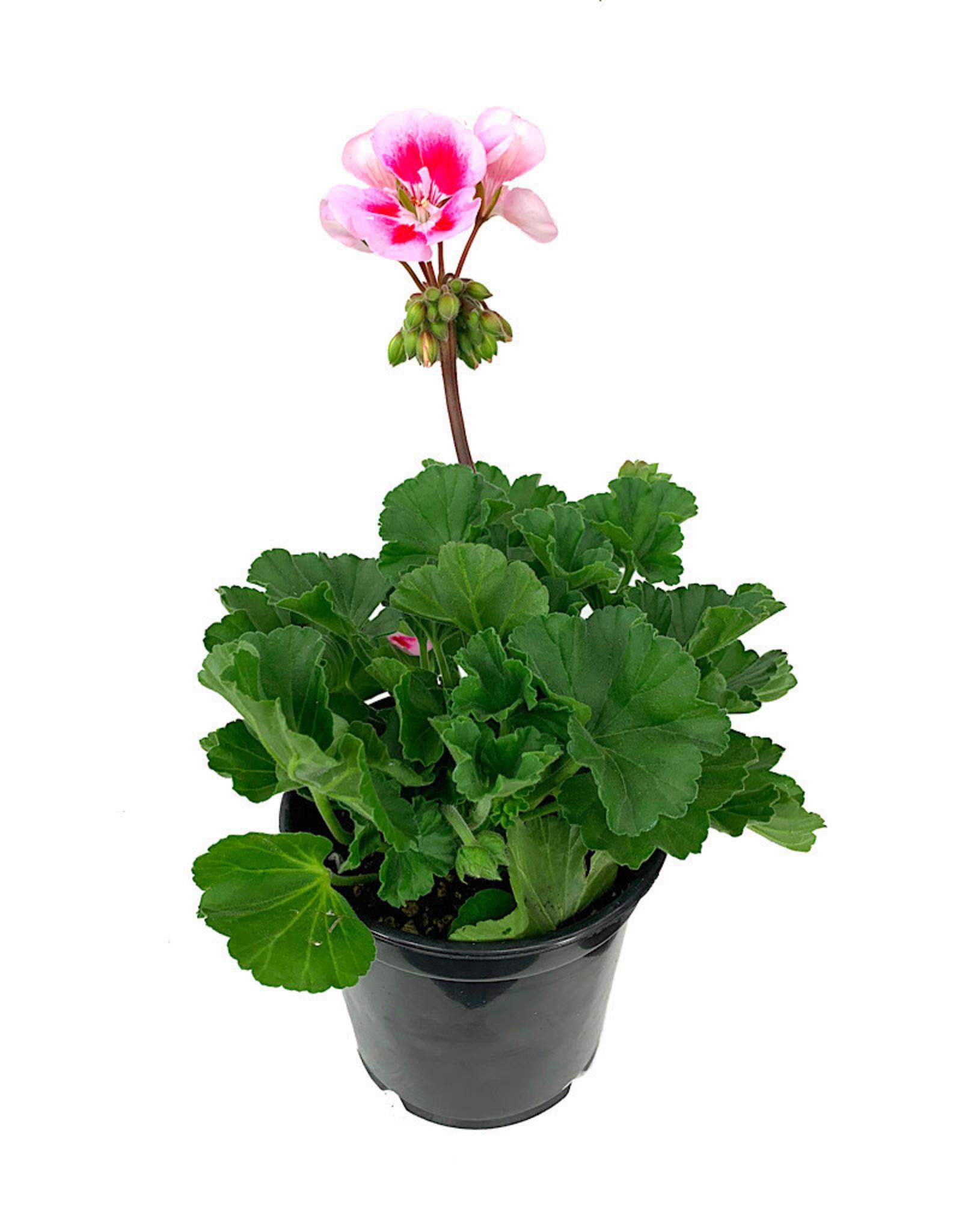 Geranium Zonal 'Presto Pink Sizzle' - 5 inch