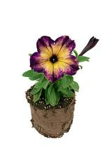 Petunia 'Crazytunia Moonstruck' - 4 inch