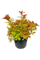 Spiraea j. 'Magic Carpet' 1 Gallon