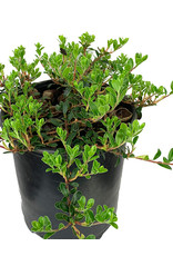Arctostaphylos 'Massachusetts' 1 Gallon