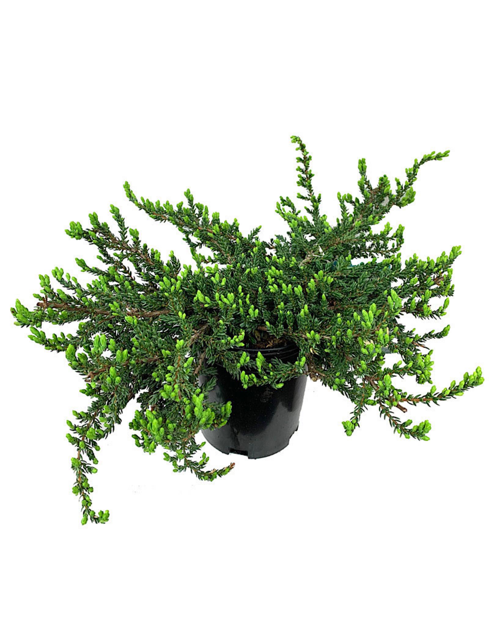 Juniperus communis 'Montana' 1 Gallon