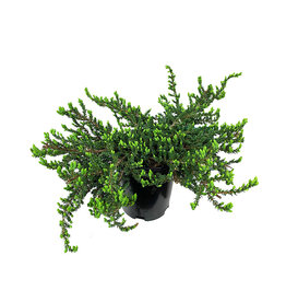 Juniperus communis 'Montana' 1 Gallon