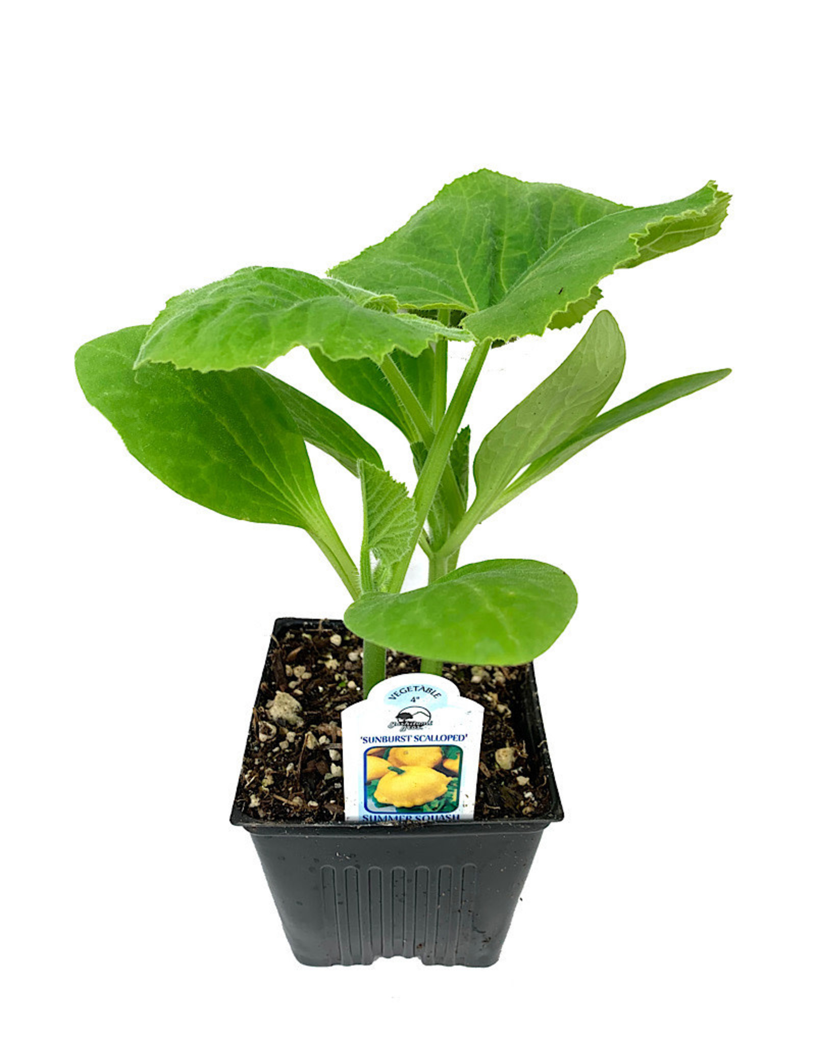 Squash 'Sunburst Patty Pan' - 4 inch