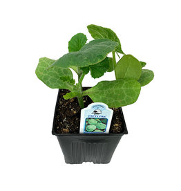 Squash 'Patty Pan' - 4 inch