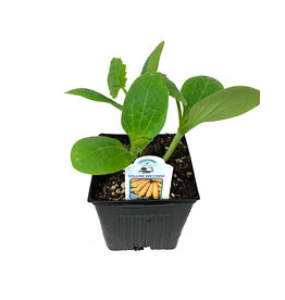 Zucchini 'Yellow' 4 Inch
