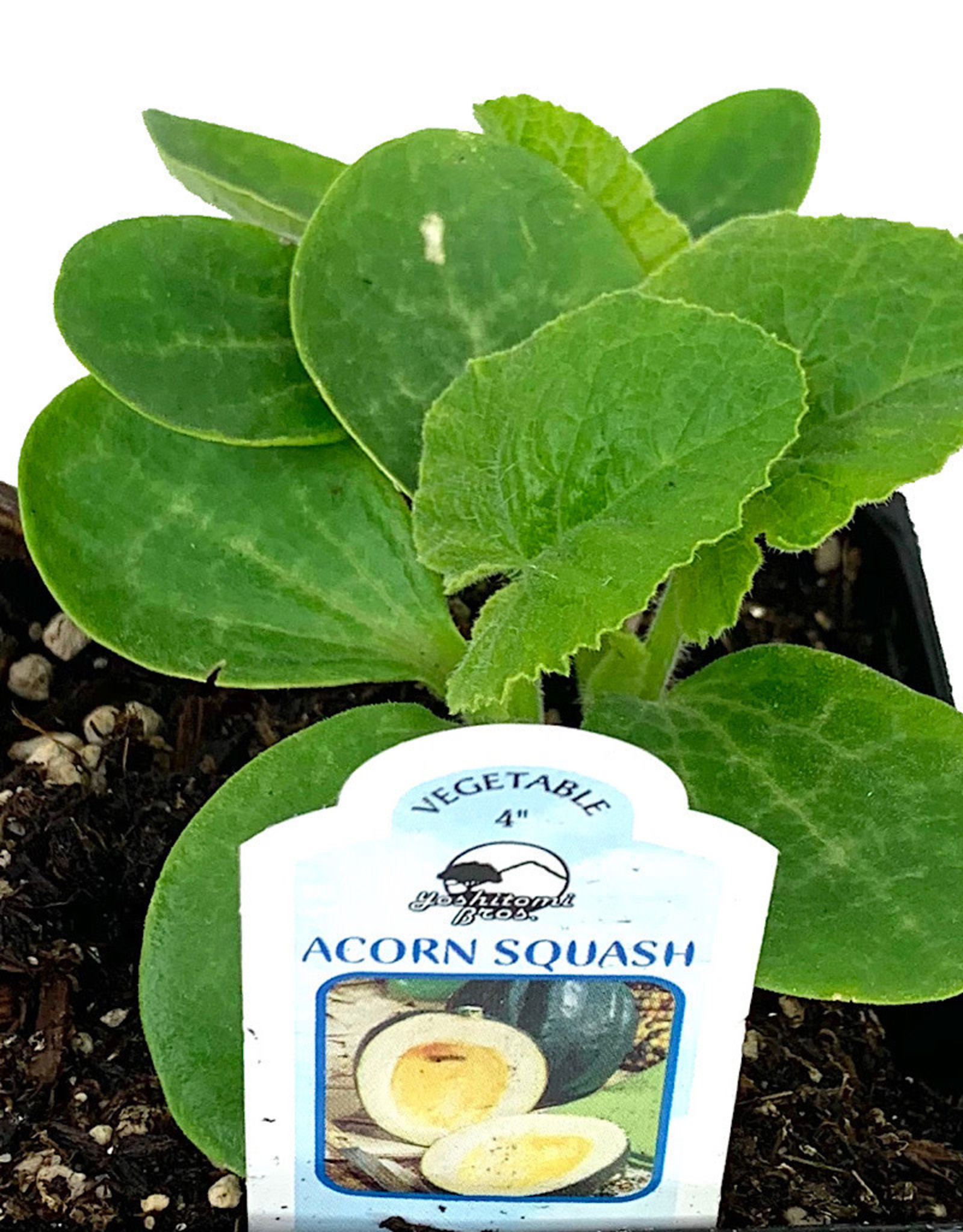 Squash 'Acorn Table Ace' - 4 inch