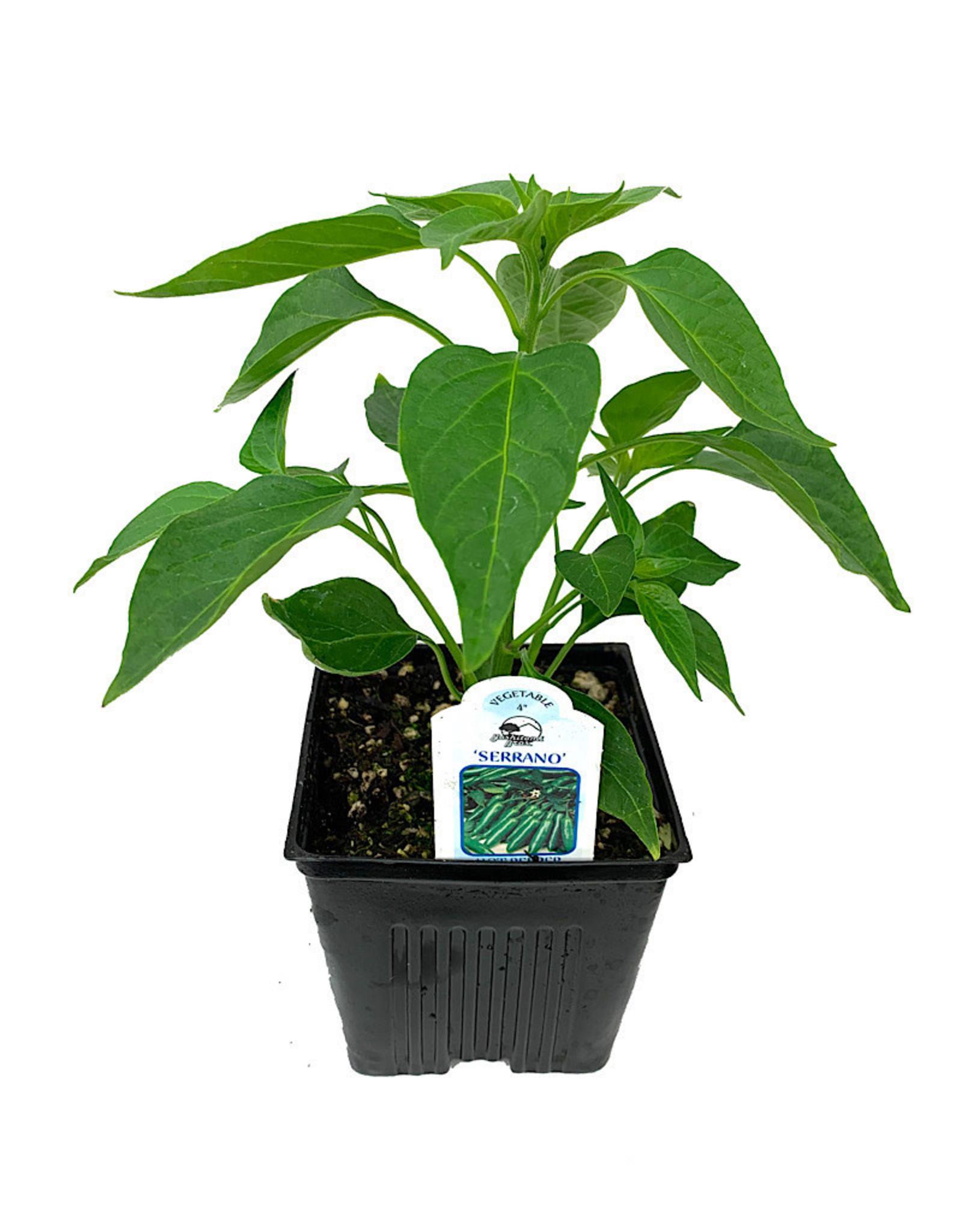 Pepper 'Serrano' 4 Inch