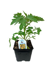 Tomato 'Yellow Pear' 4 Inch