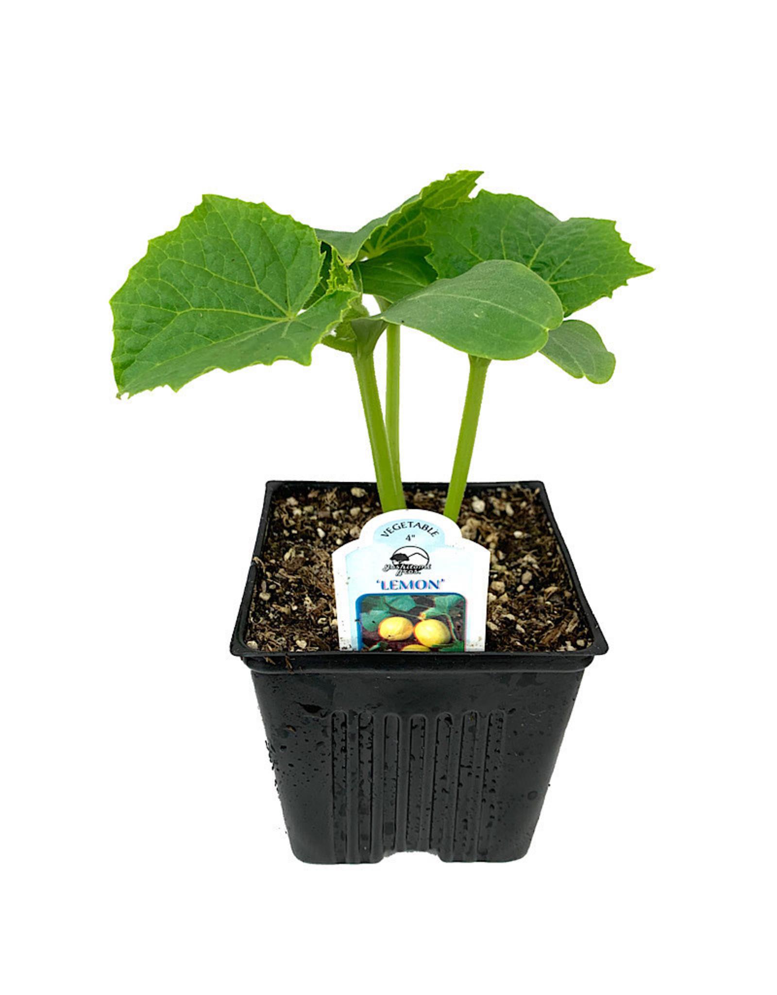 Cucumber 'Lemon' 4 Inch