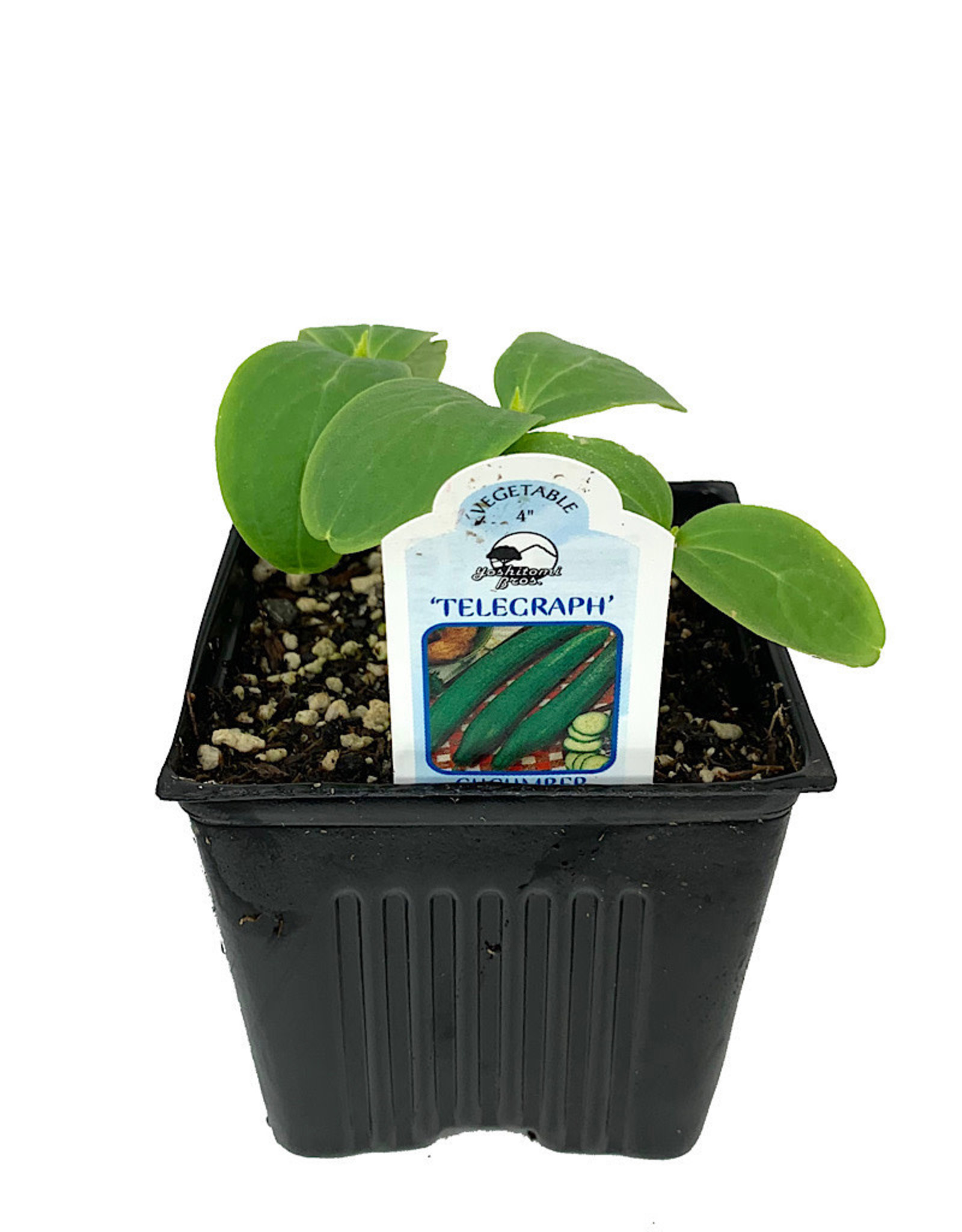 Cucumber 'Telegraph English' - 4 inch