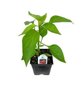 Pepper 'Mandarin' 4 Inch