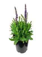 Salvia nemorosa 'East Friesland'