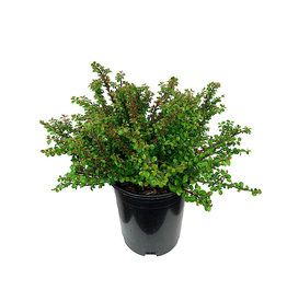 Cotoneaster a. 'Tom Thumb' 1 Gallon