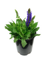 Salvia nemorosa 'April Night' 1 Gallon