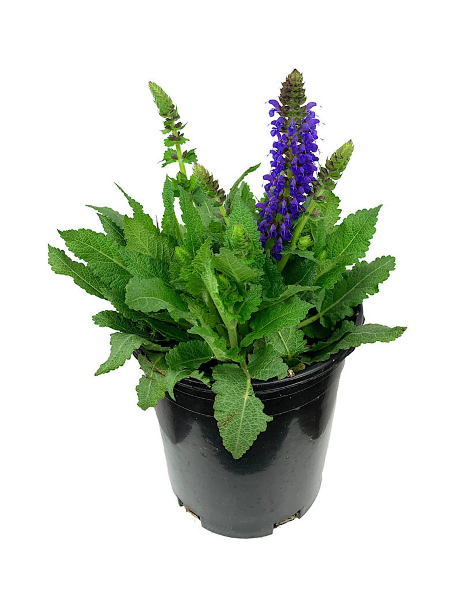 Salvia nemorosa 'April Night' 1 Gallon