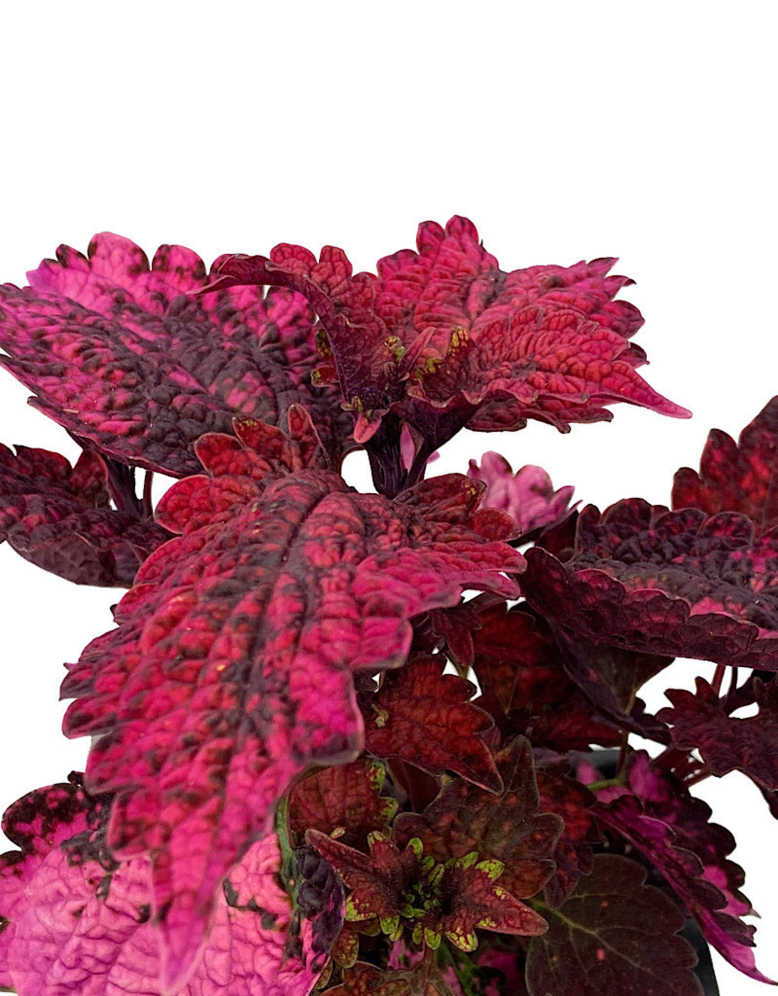 Coleus 'Florida Sun Rose' 4 Inch
