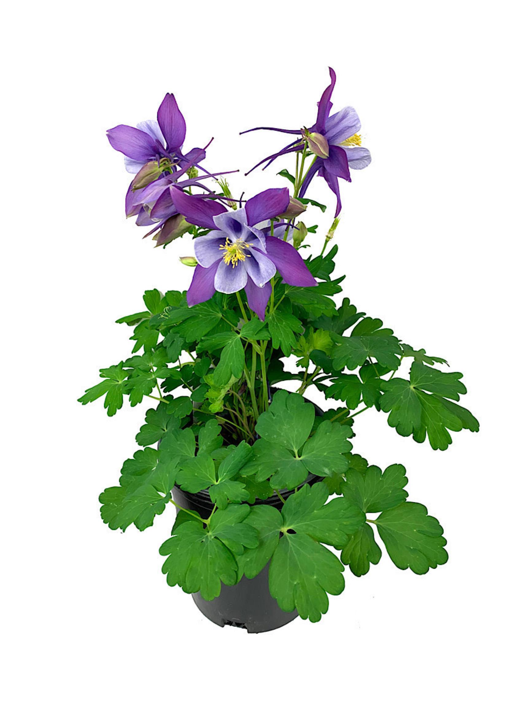 Aquilegia caerulea 'Early Bird Purple/Blue' 1 Gallon